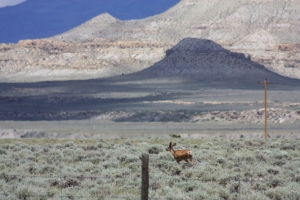 Pronghorn in the Wind Valley