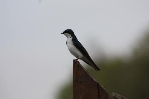 tree swallow looking regal